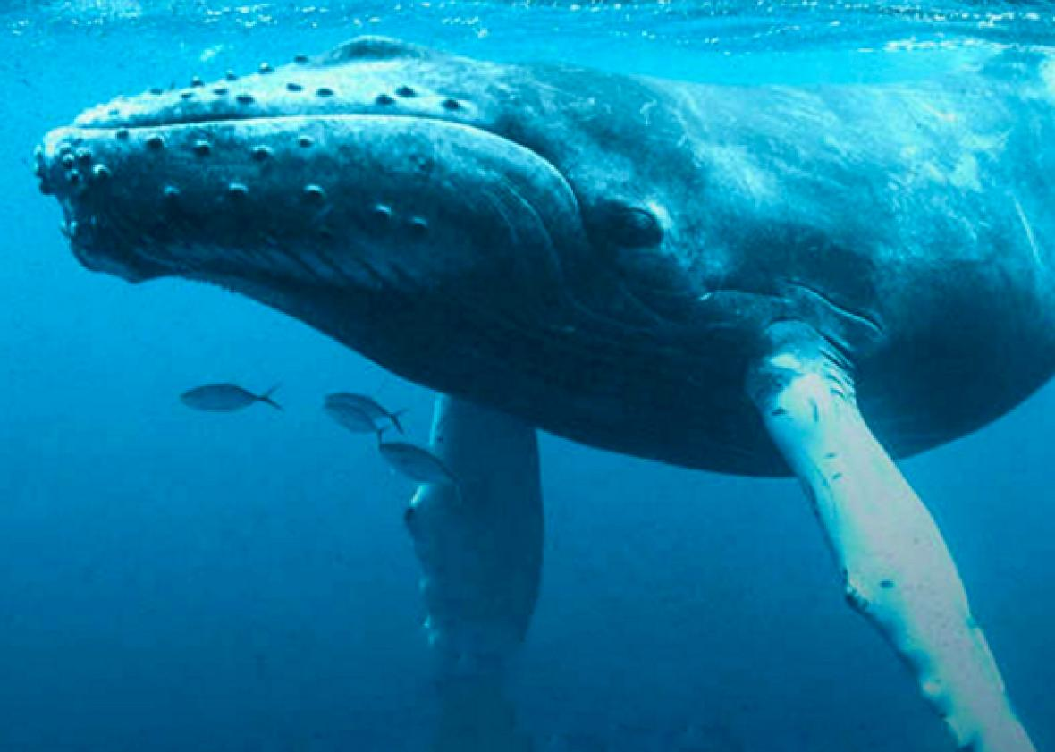 whales are big the mystery behind the whale size resolved the